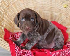 German Shorthaired Pointer puppy!