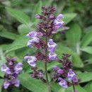 La Salvia para tratar anginas, problemas de encías, enfermedades del hígado y riñones, y otras condiciones
