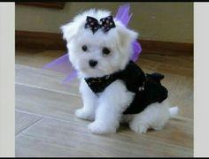 Cute maltese dressed in black!!