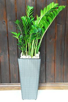 NEW PRODUCT: ZZ PLANT     Native to eastern Africa, the ZZ Plant (Zamioculcas zamiifolia) is one of the easiest houseplants to care for.  Perfect for any home or office, the plant is characterized by its shiny, lush, leaves and elegant stems.  New shoots continuously emerge from the soil producing a rich and full plant.  Care-wise, the ZZ Plant requires little water, able to survive for weeks without watering and can tolerate low light.  ($99.99)     http://www.plantdecor.ca/ZZ-Plant-ZZP.htm