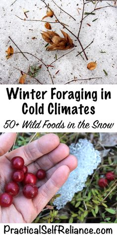 Winter foraging in cold climates ~ 50+ wild foods in the snow Survival Food, Homestead Survival, Wilderness Survival, Outdoor Survival, Survival Prepping, Survival Skills, Survival Supplies, Emergency Preparedness, Bushcraft Skills