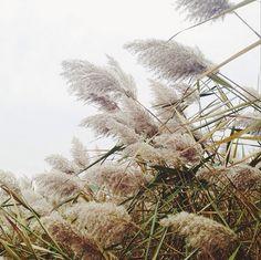 Pampas grass. Nicole Franzen on Instagram