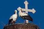 Storchennest auf der Kirche in Strodehne Ciconia ciconia