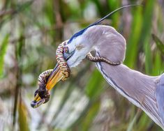 Great Blue Heron with a snake wrapped around its beak Fast Crazy Nature Deals. Photography Essentials, Photography Awards, Wildlife Photography, Animal Photography, Blue Heron, Small Birds, Pet Birds, Prey Animals, Wild Birds
