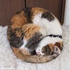 Calico Cat Wrapped About Napping. Gato Calico, Calico Cats, Cats And Kittens, Ragdoll Kittens, Tabby Cats, Funny Kittens, Bengal Cats, White Kittens, Black Cats