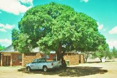Mimusops zeyheri - Google Search Trees To Plant, Country Roads, Google Search, Plants, Tree Planting, Plant, Planets