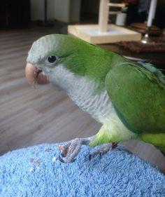 Luka quaker parrot