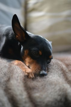 """Receive excellent ideas on """"pinscher puppy"""". They are actually readily available for you on our internet site. Mini Pinscher, Miniature Pinscher, Doberman Pinscher, Silly Dogs, Cute Dogs, Akita, Prager Rattler, Miniature Doberman, Pincher Dog"""