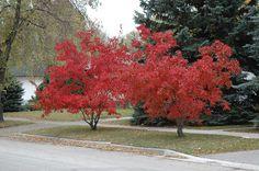 Amur Maple (drought tolerant)