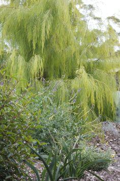 Acacia cognata for awkward north/west corner Bush Garden, Garden Trees, Trees To Plant, Australian Native Garden, Australian Plants, Australian Bush, Drought Tolerant Trees, Landscape Design, Garden Design