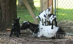 A Nigerian dwarf goat is a great choice for any size homestead, but especially for folks who are short on space.
