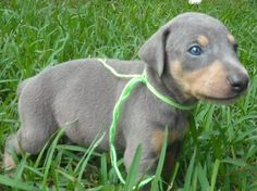 We will be getting one of these in 8 weeks!! Blue Doberman Pinscher