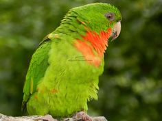 Red-throated Parakeet (Psittacara rubritorquis) perching | the Internet Bird Collection | HBW Alive