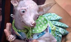This is a very sad story, about little Rosie the inbred Chihuahua that EVERYONE should read . she is a product of inbreeding and puppy mills! Chihuahua Love, Chihuahua Puppies, Chihuahuas, Everything's Rosie, Puppy Mills, Dog Behavior, Animal Quotes, Animal Rescue, Rescue Dogs