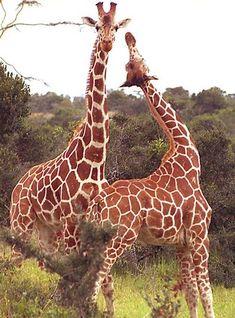 The Giraffe is the world's tallest living animal