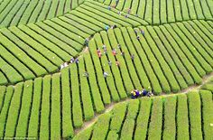 Gorgeous: The Wujiatai tea, a famous speciality of Hubei Province, has entered its harvest season in the stunning Xuan'en County
