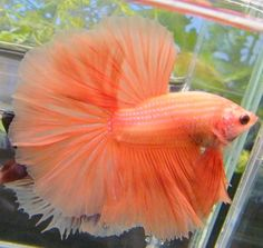 """Summary: Betta Fish also known as Siamese fighting fish; derives its name from the Thai phrase 'ikan bettah"""". Mekong basin in Southeast Asia is the home of Betta Fish and is considered to be one of the best aquarium fishes. Betta Fish Types, Betta Fish Care, Pretty Fish, Beautiful Fish, Colorful Fish, Tropical Fish, Poisson Combatant, Beautiful Creatures, Animals Beautiful"""