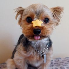 Odie needs to learn this one! Yorkie with dog treat http://www.thedogsbark.com/