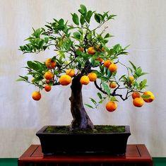Poncirus citrus trifoliata - Flying Dragon #Bonsai