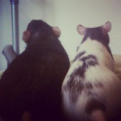 My rats Ellie and Remi-double trouble!
