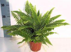 9 комнатных растений, которые отлично чистят воздух  Папоротник нефролепис