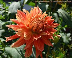Lovely Coral colored Dahlia - Buffi's garden 2014
