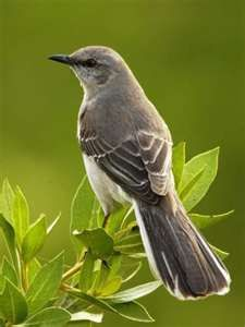 Never realized the Mockingbird is the State bird for so many States. Texas, Arkansas, Florida, Mississippi and Tennessee State Bird - Mockingbird Pretty Birds, Love Birds, Beautiful Birds, Beautiful Songs, Beautiful Pictures, Beautiful Cover, Birds 2, Wild Birds, Simply Beautiful