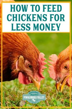 how to feed chickens for less money - feeding laying hens does not have to be expensive. Read on to find out affordable and cheap ways to feed your backyard chickens Laying Chickens, Raising Backyard Chickens, Laying Hens, Backyard Poultry, Keeping Chickens, Chicken Eating, Chicken Feed, Chicken Coup, Meat Rabbits