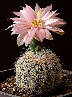 ✿* Cactus *✿* Suculentas *✿ Gymnocalycium Bruchii v. Succulent Gardening, Cacti And Succulents, Planting Succulents, Unusual Flowers, Beautiful Flowers, Cactus Plante, Plantas Bonsai, Cactus Y Suculentas, Desert Plants