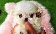 Welcome to FouFou Puppies. The Home of the World's Most Exquisite Micro Teacup Puppies for Sale. Ask for Our 'Special Order' Option. We Can Locate Your Dream Puppy! Contact Us Today to Reserve Your Teacup Puppy! Teacup Maltese For Sale, Maltipoo Puppies For Sale, Teacup Puppies For Sale, Aussie Puppies, Fluffy Puppies, Little Puppies, Baby Puppies, Cute Puppies, Cute Dogs