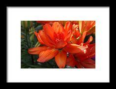 lily, orange, flower, nature, bloom, blossom, michiale schneider photography