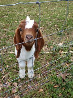that's one freaking cute goat!