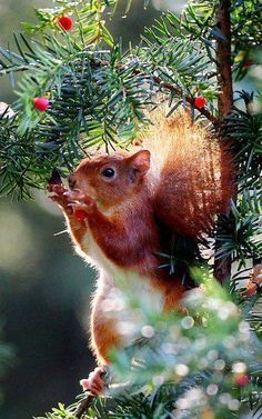 """magicalnaturetour: """" A red squirrel eats berries in a tree in Cologne, Germany Picture: OLIVER BERG/AFP/Getty Images """" Nature Animals, Woodland Animals, Animals And Pets, Baby Animals, Cute Animals, Beautiful Creatures, Animals Beautiful, Red Squirrel, Little Critter"""