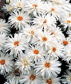 """Shasta Daisy, Crazy Daisy.  Frilly summer perennial, great for cut flowers.  Huge daisies, 3"""" across, frillier than anything ever seen before. Dozens of petals twist and turn, with no two flowers exactly the same. Blooms in summer and makes an excellent cut flower."""