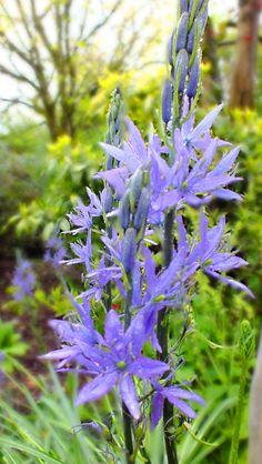 An open garden on The Wild Atlantic Way in County Limerick, Ireland. Farmhouse Garden, Blue Flowers, Ireland, Irish, Rain, Plants, Rain Fall, Irish Language, Plant