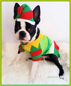 19 weeks old today  Since I didn't pass the Reindeer Test I am going to apply for the Elf position. I am sure Santa will give me the job this time the bat ears will definitely help here  Happy Sunday FURriends!!  #clf27 #flatnosedogsociety #bostonterrierlove #naturaldogcompany #bostonterrier_feature #bostonterriersoverload #mydogiscutest #bostonsofinstagram #squishyfacecrew #lacyandpaws #littlerocky #rocky #shortsnouts #BarkleyThePomSquad #btcult #bostonterrier #bostonpups #bostonterriers…