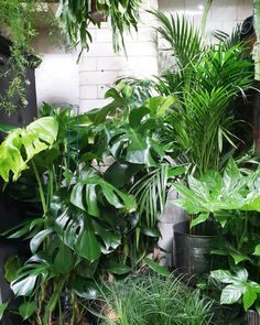 Leafy greens including beautiful big monstera, palms, Fatsia, hanging rhipsalis, and asparagus fern Potted Plants, Indoor Plants, Asparagus Fern, Flower Gardening, Screened In Porch, Interior Designing, Brown Bear, Palms, Ferns
