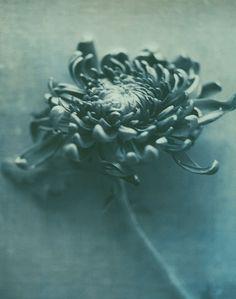 Don Freeman - blue chrysanthmum