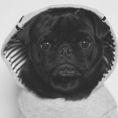 This week's pug photo challenge is all about pugs showing off their best thug life photos. Tag those thug life photos #tpdthuglife #thepugdiary
