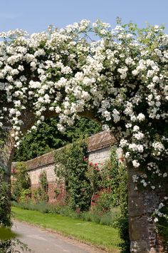 A lush bloom of miniature summer roses (Rosa Rambling Rector) overhangs an old stone arch, Penshurst Place gardens, mid June, England.