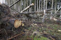 Teilweise aufgeräumter Windbruch in einem Nadelwald