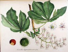 Illustrator: Christiaan Sepp Aesculus hippocastanum L. Flora Batava of Afbeeldingen en Beschrijving van Nederlandsche Gewassen, XII. Deel. (1865) Author: Janus (Jan) Kops (1765–1849)
