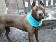 KILLED!! SHAME BY!!TO BE DESTROYED - TUESDAY - 4/29/14, Manhattan Center    SONNY - A0997353    MALE, BLK SMOKE / WHITE, PIT BULL MIX, 3 yrs  STRAY - STRAY WAIT, NO HOLD  Reason ABANDON   Intake condition INJ MINOR Intake Date 04/21/2014, From NY 10469, DueOut Date 04/24/2014  https://www.facebook.com/photo.php?fbid=791914307488117&set=a.617938651552351.1073741868.152876678058553&type=3&permPage=1