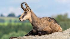 Say hello to the chamois (pronounced sham-wah). A goat-antelope that hails from Europe and Asia-minor. They have also been introduced to New Zealand. These critters prefer alpine meadows, mountains, steep slopes, and rocky terrains. They can be seen at altitudes of up to 11,800 feet! Chamois face hunting, lack of food (due to competition from livestock), habitat loss, and disease. #alpine #antelope #Asia #chamois #cliff #Europe #goat #graze #mountain #NewZealand #prey
