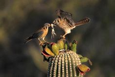 2 American Kestrels share a lizard © Brien Harvey