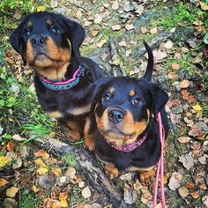 Rottweiler World @therottweilerworld Instagram photos   Websta Rottweiler Love, Rottweiler Puppies, I Love Dogs, Cute Dogs, German Dog Breeds, Puppy Breath, Puppy Pictures, Family Dogs, Dogs And Puppies