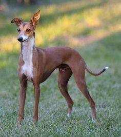 Italian Greyhound - The smallest of the sighthound breeds, the Italian Greyhound probably originated in Greece and Turkey some 2,000 years ago. An elegant toy breed measuring 13 to 15 inches at the shoulder, the Italian Greyhound is slender and graceful.