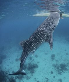 Whale Shark checking out a surfer