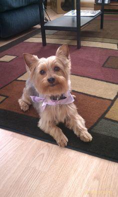 My Bella Poo #yorkiepoo #dogs #cute