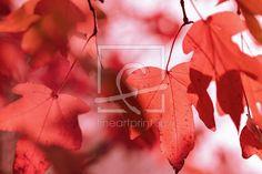 Ihre Bilder auf FineArtPrint verkaufen 11941035 FotokunstUlrikeAdam ahorn  ahornblätter  blatt  blätter  rot  herbst  herbstlich  herbstfarben  natur  licht  natürlich  floral  ahornblatt  bokeh  schön  frisch  herbstlandschaft  blattadern  makro  baum  park  jahreszeiten